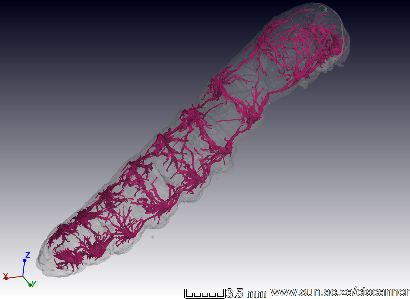 X-ray 3D CT scan of a silkworm (Bombyx mori) larval tracheal system (scale bar shows 3.5 mm.) Image taken by Leigh Boardman with technical assistance from Anton Du Plessis, Central Analytical Facilities at Stellenbosch University.